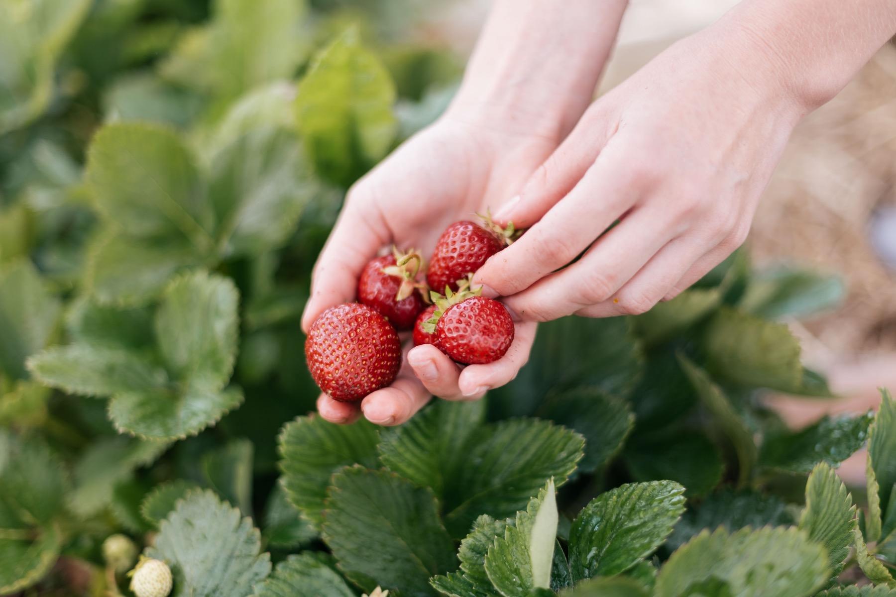 Erdbeeren pflücken – ©Unsplash