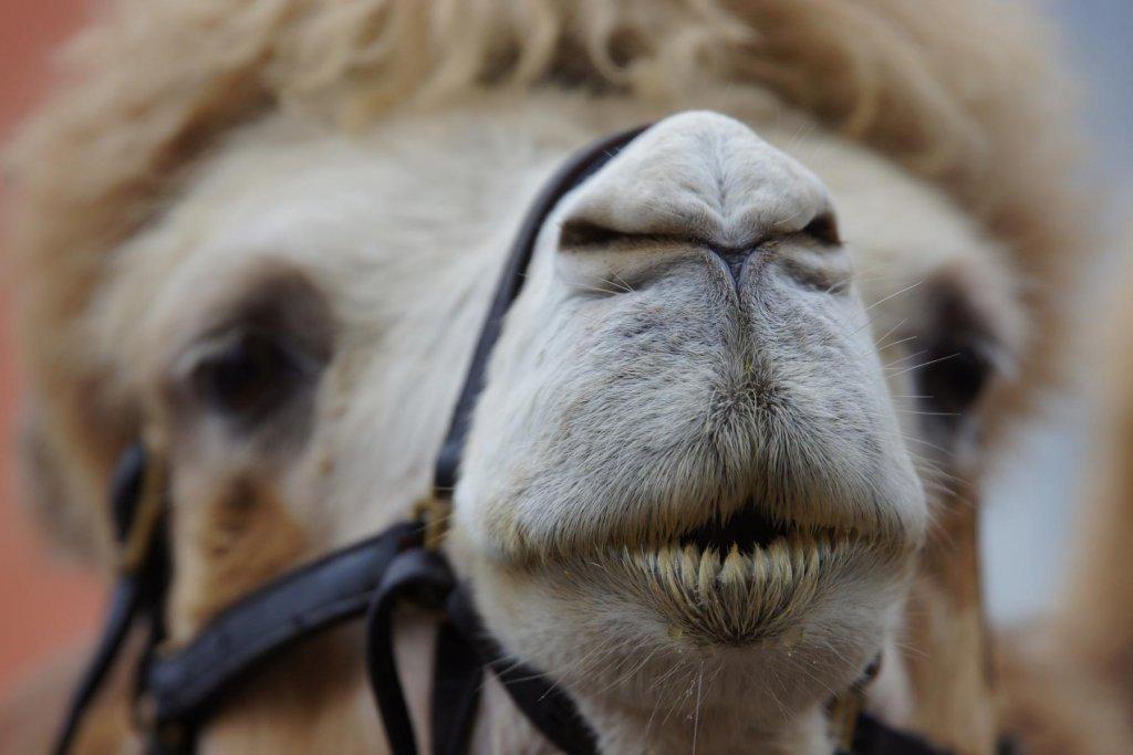 Kamel Kopf